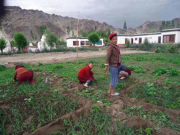 Gartenarbeit Nonnen in Nyerma/Ladakh