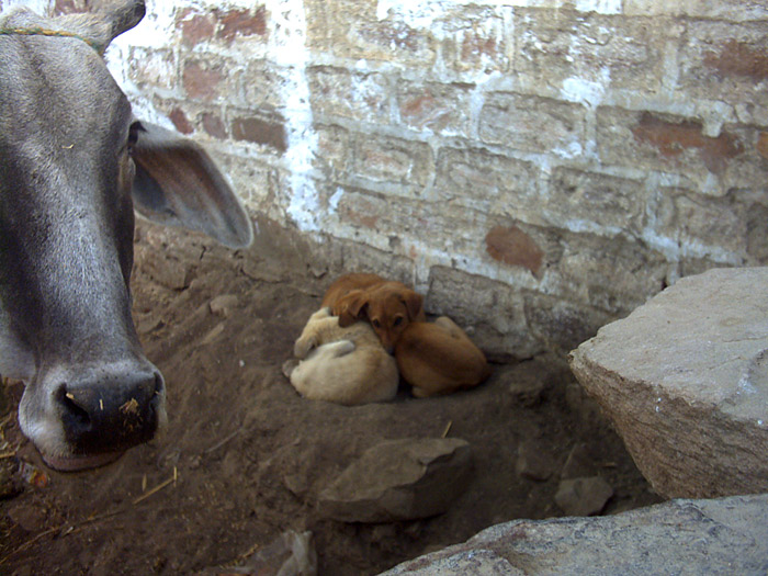 dogs and cow in Rajasthan