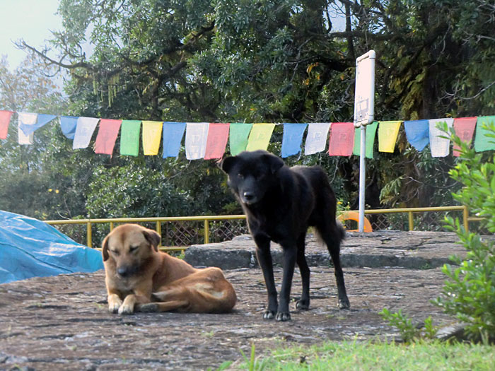 Dogs in Sikkim