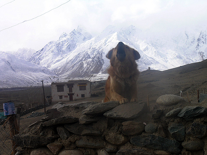 Hund in Zanskar