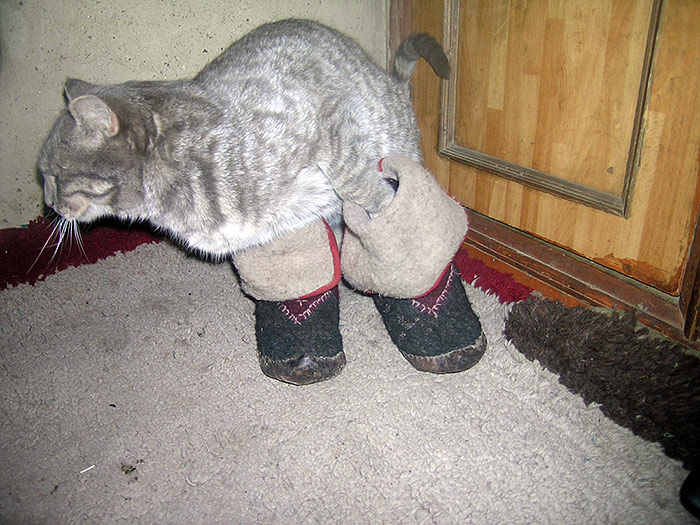 cat in shoes in Zanskar