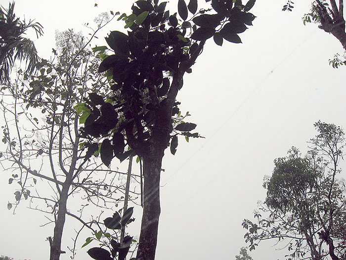 trees in Wayanad/Kerala