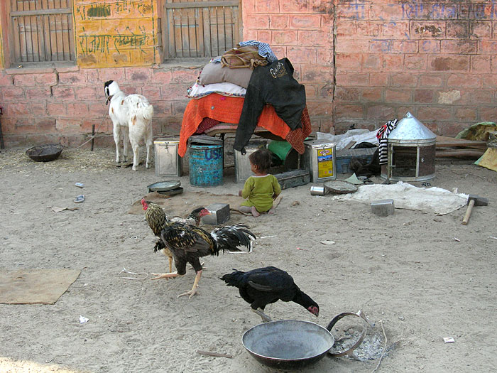 chicken in Chandelao/Rajasthan