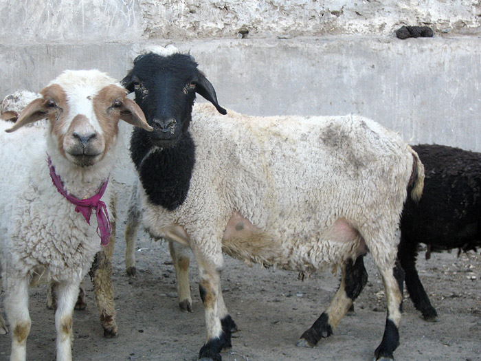 sheep in Zanskar