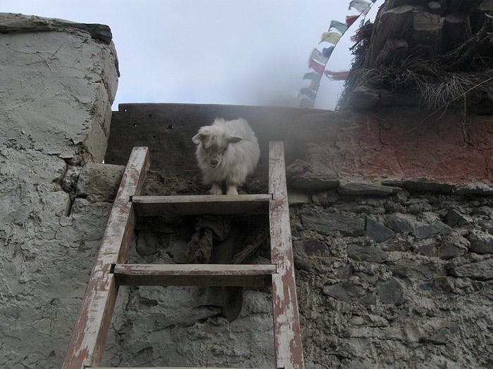 goat in Zanskar