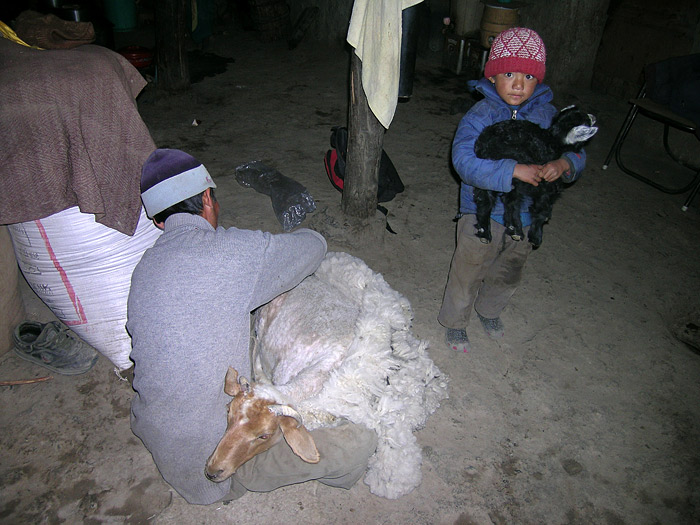 cutting sheepwool in Zanskar