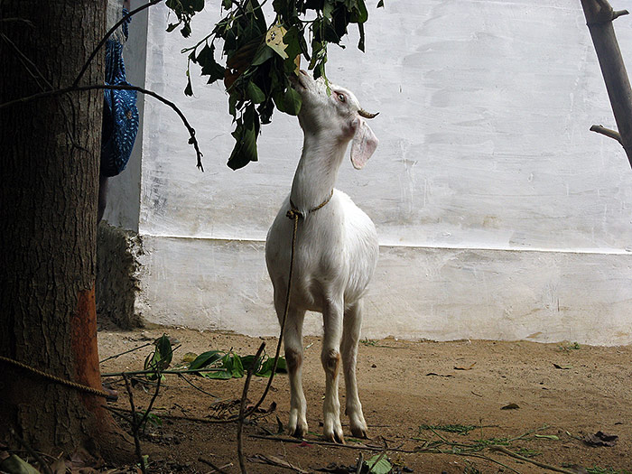 goat eating in Kerala