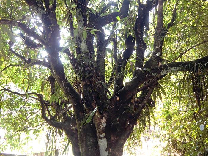 tree in Sikkim