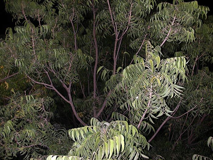 tree in Rajasthan