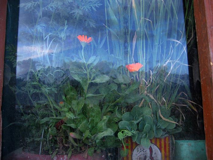 plants in Zanskar