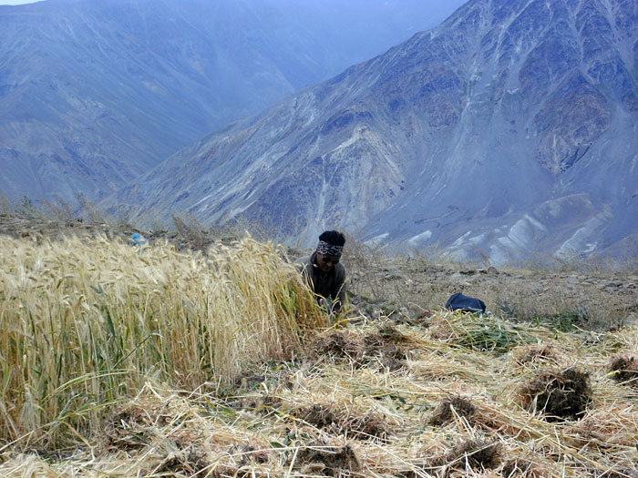 harvest in Zanskar