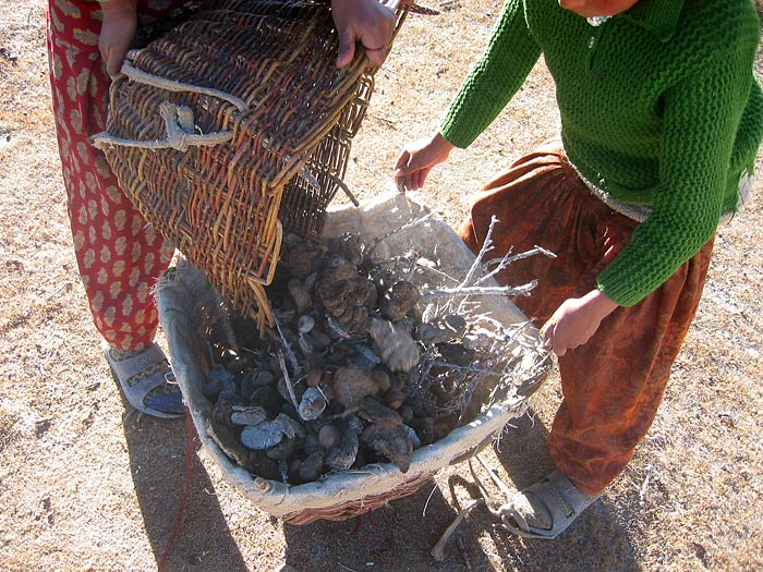 collecting dung in Zanskar