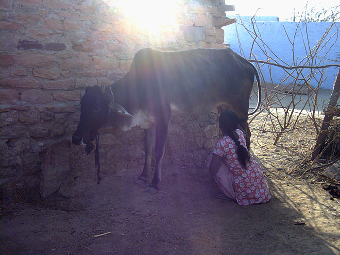milking the cow in Rajasthan