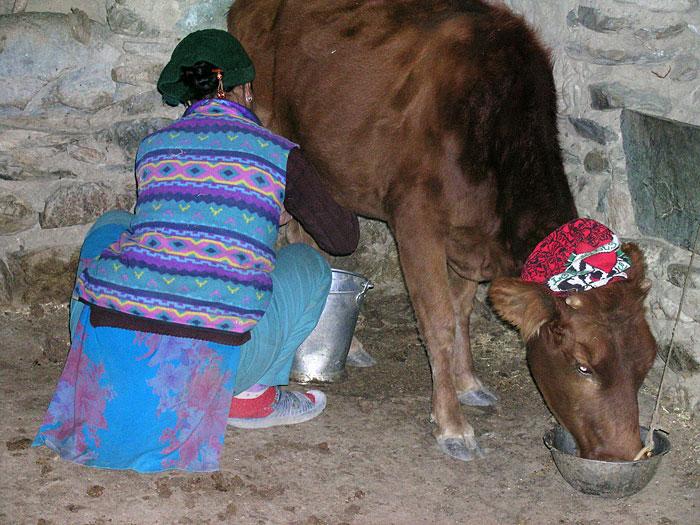 milking the cow in Zanskar