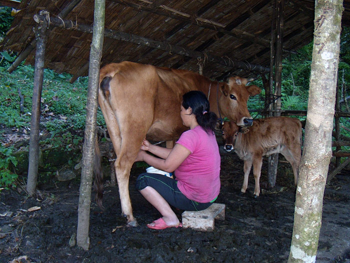 woman milking cow in Sikkim
