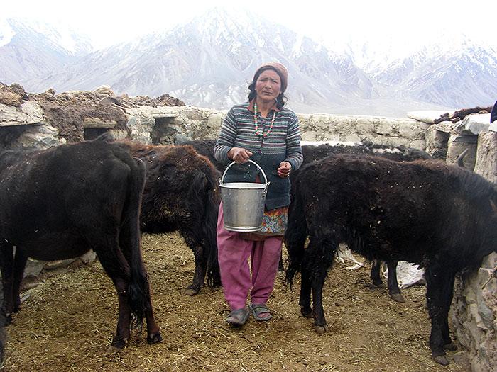 taking the milk in Zanskar