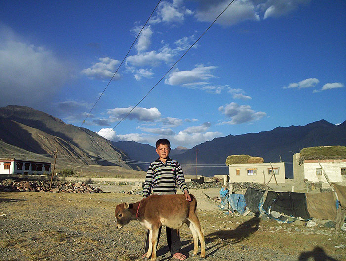 boy and calf in Zanskar